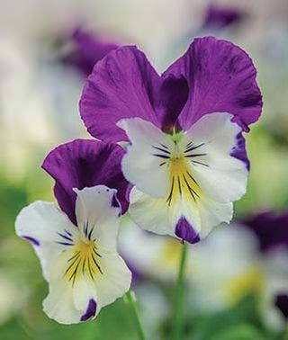 Growing Pansy Flowers